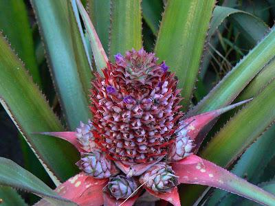 Imagini Etiopia: floare de ananas