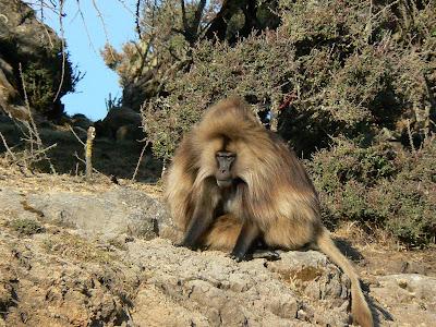 Imagini Etiopia: Muntii Simien babuin gelada