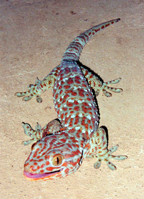 tokay gecko1 7 Animals which are believed to bring good luck