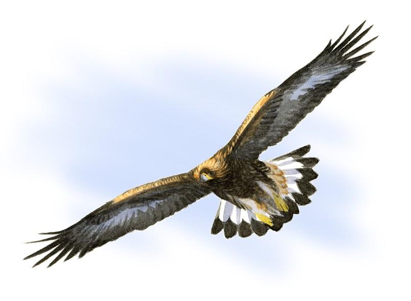 fågelben