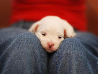 Dog Parvo Picture