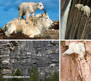 Rocky Mountain Goat Sure - Footed Climber - Amazing Animal