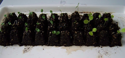 lettuce seedlings floppy