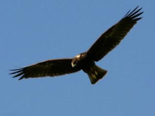 Papangue en vol ailes déployées dans un ciel bleu