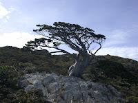 天然盆景的玉山圓柏