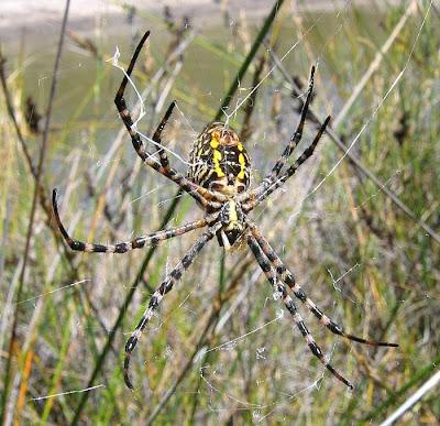 Esperance Blog Banded Orb Weaving Spider Argiope Trifasciata