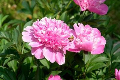 красиво-цветущие-многолетники