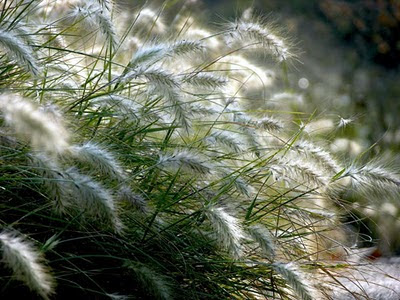 декоративные-травы