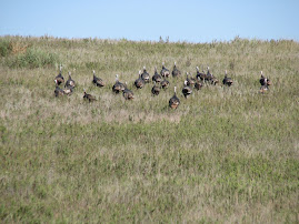 Turkeys! Cheyenne CO, KS