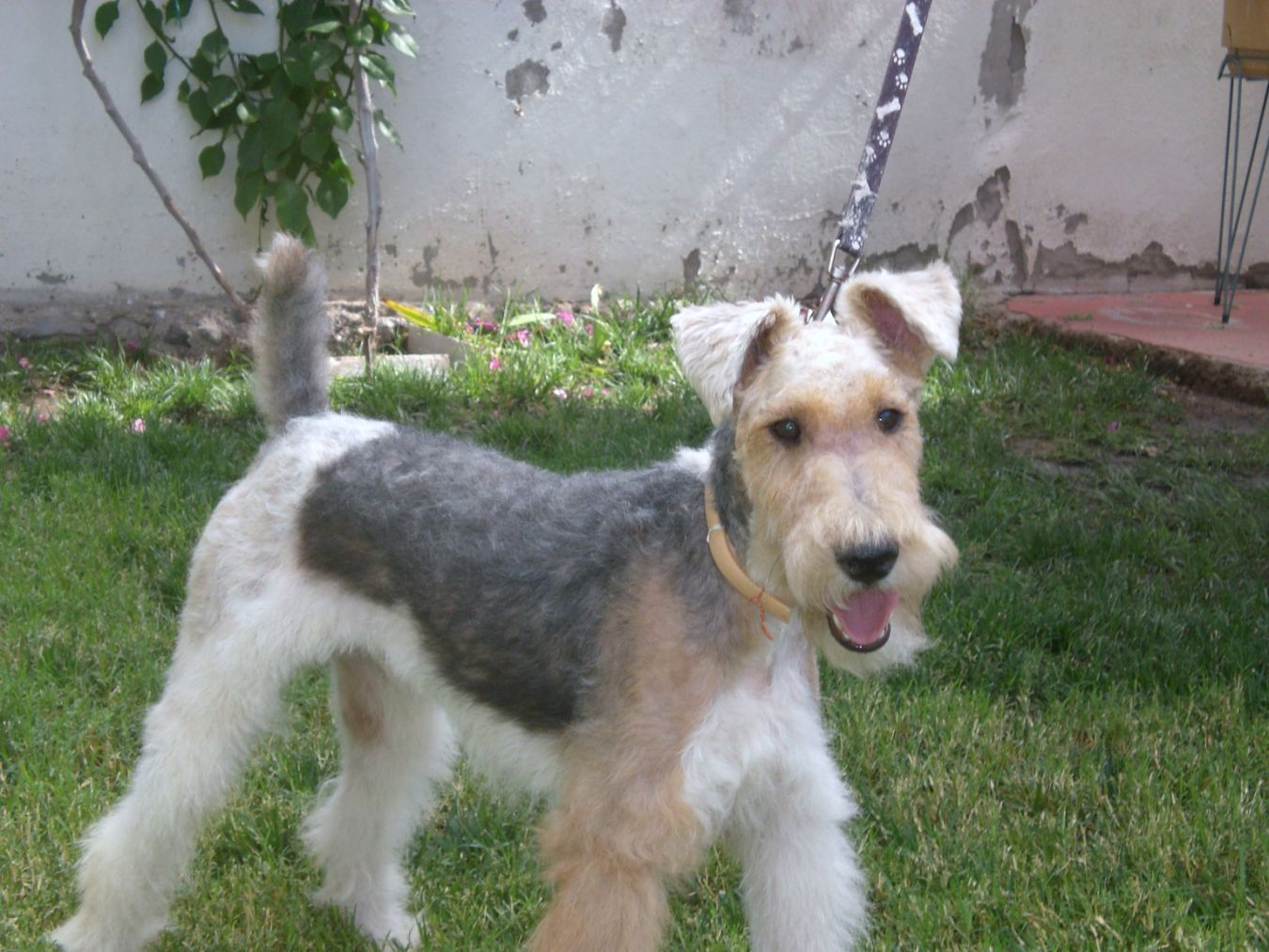 Marcis Fox Terrier wire hair Breeder