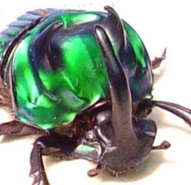 REAL BEETLE MALE METALLIC GREEN DEVIL SCARAB 2520M