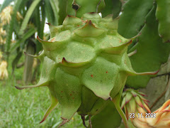 The Dragon Fruit