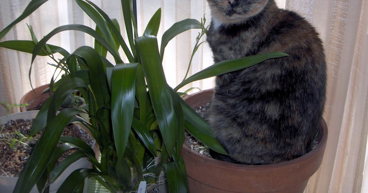 Cats and catts why won 39 t our spider plant grow for Are spider plants poisonous to cats