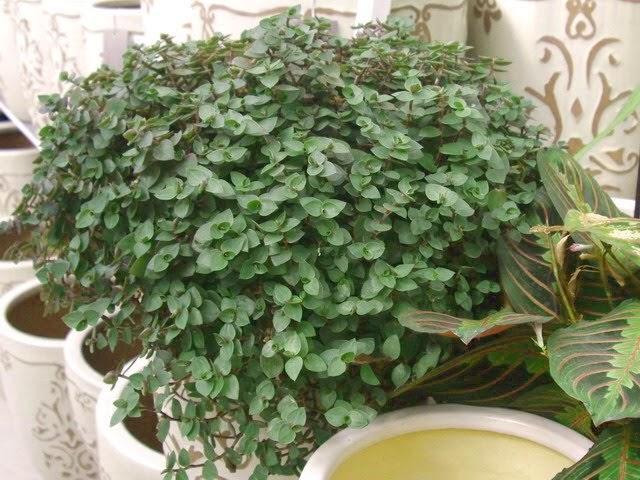 Fuentes para jardines callisia repens dise o y for Paginas de decoracion de interiores gratis