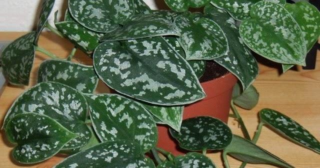 Jardineria ecologica scindapsus pictus dise o y for Jardineria ecologica