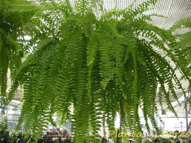 Plantas y flores helechos for Plantas colgantes para interior