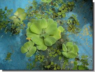 Vuestras plantas fluviales o de estanque preferidas  SKu78UiEy0