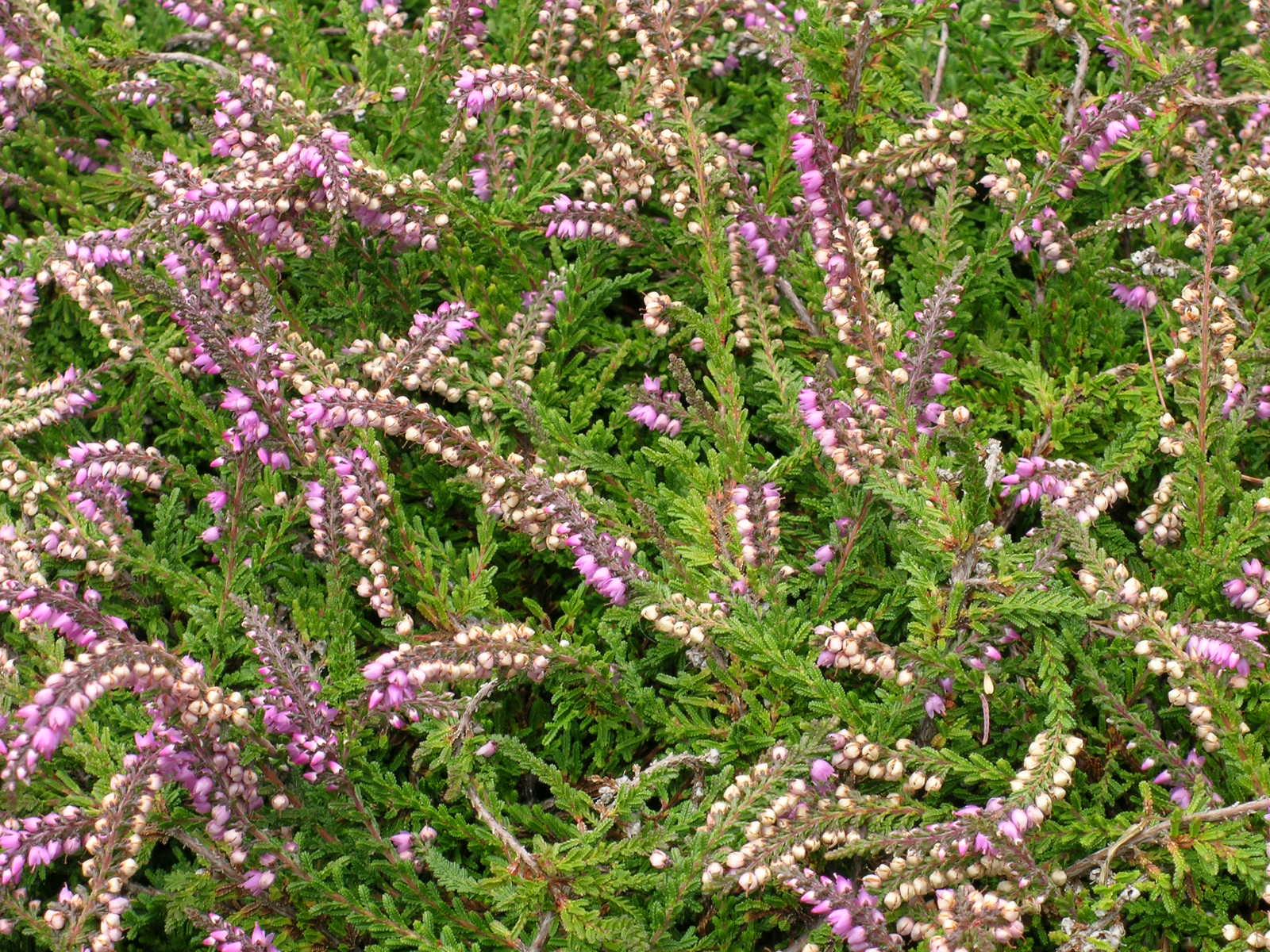 Berkeley butterfly blog calluna vulgaris heather for Calluna vulgaris