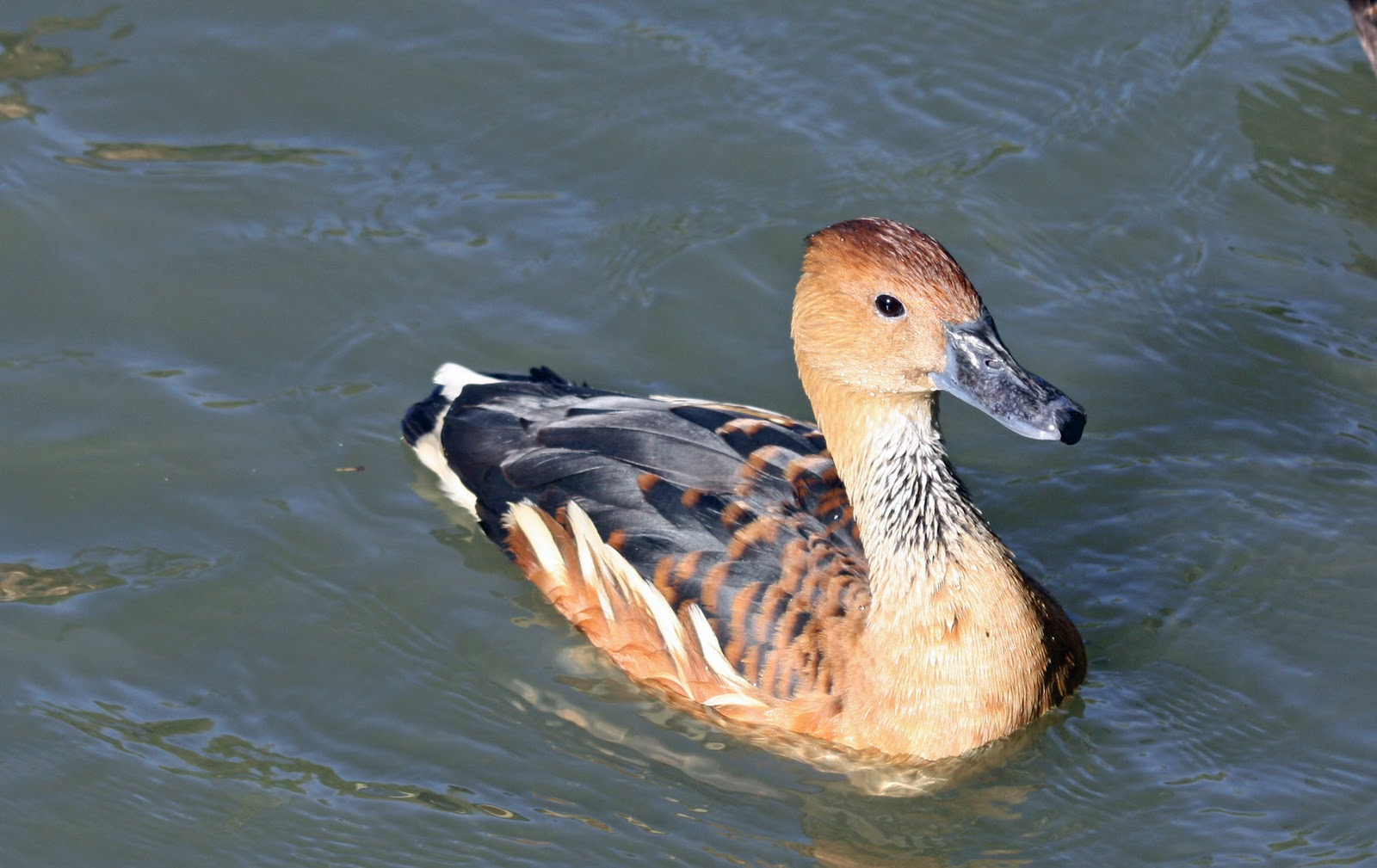 Female Fulvous Whistling Duck