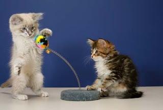 gatito mirando como otro gato usa un juguete