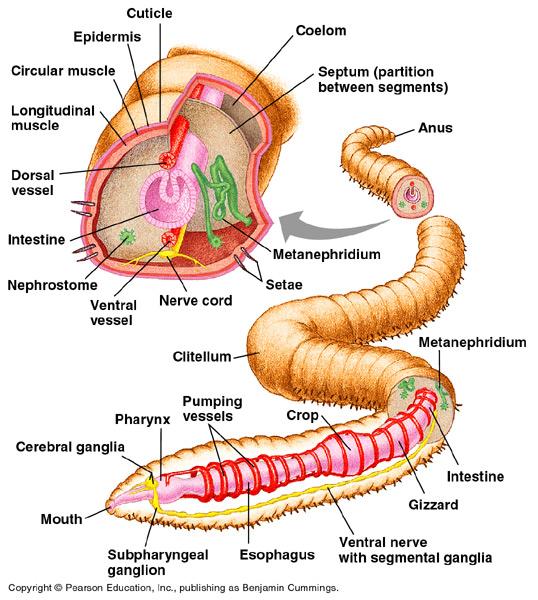Anatomy Of Leech Gallery - human anatomy diagram organs