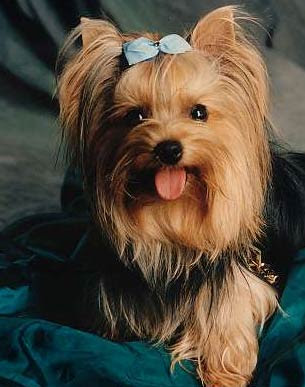 Yorkshire Terrier Dogs Breeds
