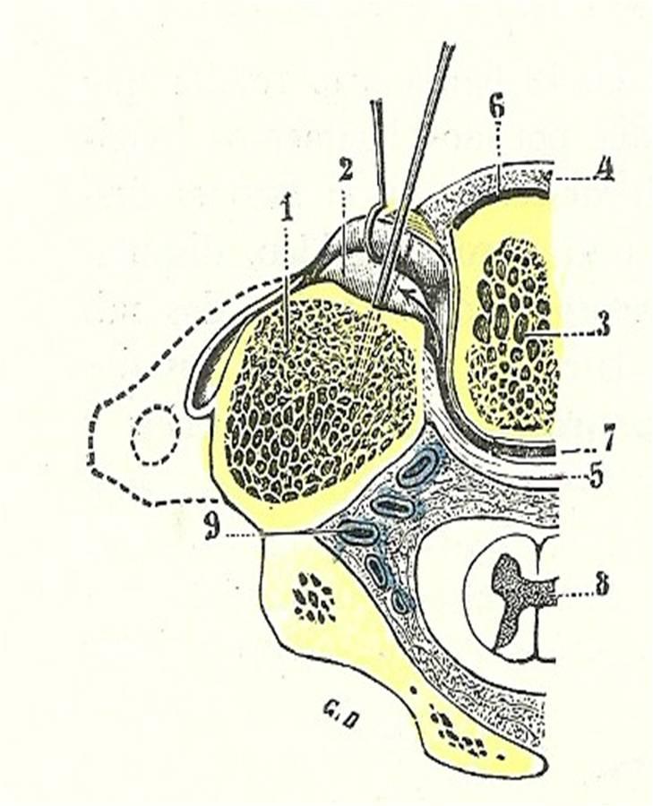 Articulación Atlantoaxoidea: Articulación Atlantoaxoidea
