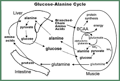 Glucose-Alanine+Modified.BMP