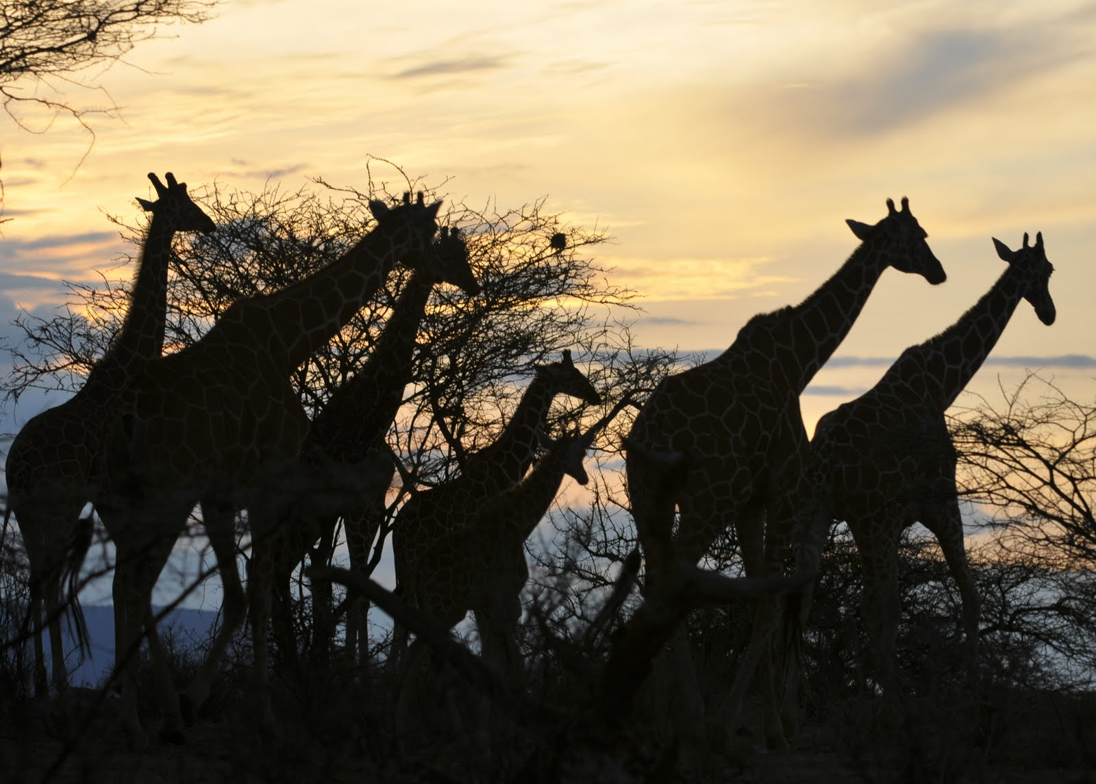 Here Particularly Large Group Giraffes Nightfall