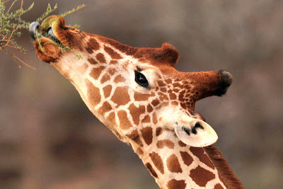 And Hungry Giraffes Feeding Acacia Just Like The Gerenuks But