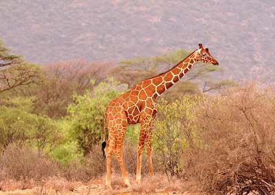 Course Samburu Famous For Its Endemic Mammals Including The