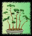 Стиль упавшее дерево бонсай