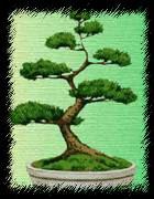 Неформальный вертикальный стиль бонсай