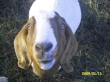 Funny Goat Emma