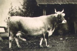 megapost!!! todas las razas de ganado vacuno