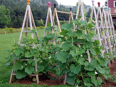 The bottle gourds went nuts last year. They sure did like the obelisks.