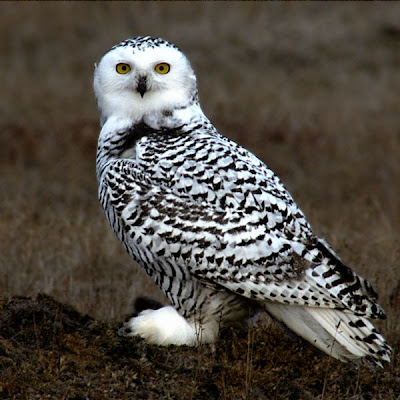 A beautiful Snowy Owl in a picture found at romantic-chateau.com