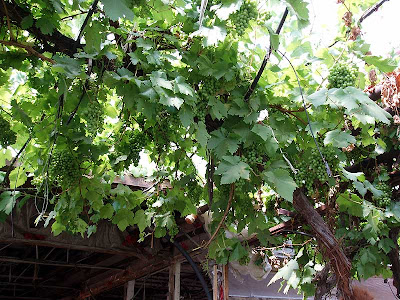This grapevine has been growing inside this greenhouse for as long as we've been going there. It produces an amazing quantity of fruit every year.
