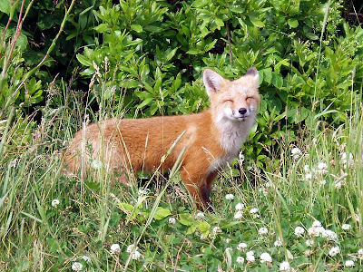 Happy Fox says he still loves us even though he is going home hungry!