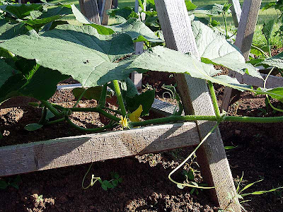 A close-up view of the cucumbers already in blossom.