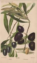 Lækre oliven i stort udvalg
