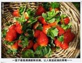 41. 垂涎欲滴的草莓