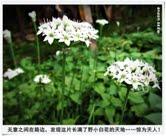 56. 遍地绽放野白花