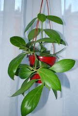 Hoya coloura