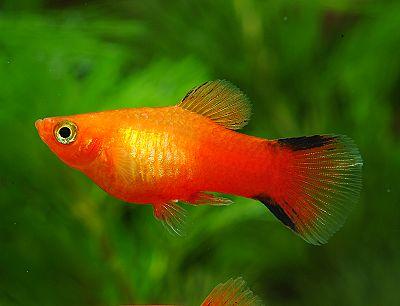 swordtail tropical fish the red velvet swordtail fish is an omnivore ...