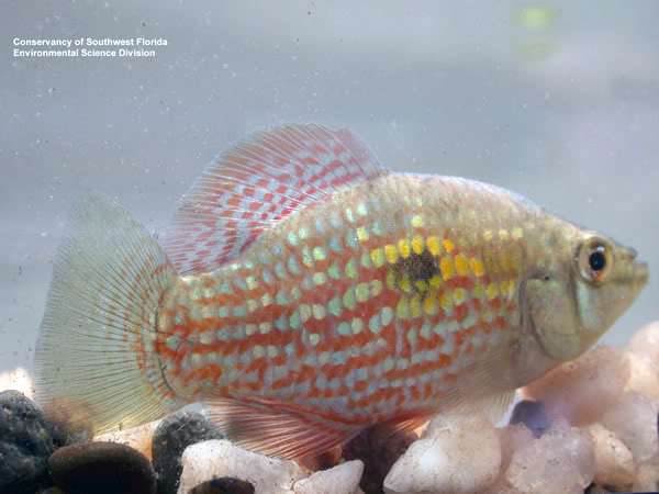 the american flagfish jordanella floridae american flag fish is a ...
