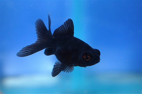 Black Moor Goldfish for Sale, For Sale