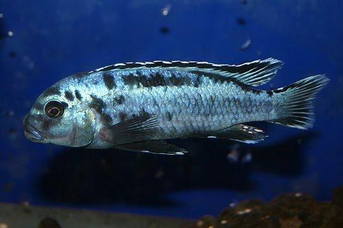 melanochromis johannii sale