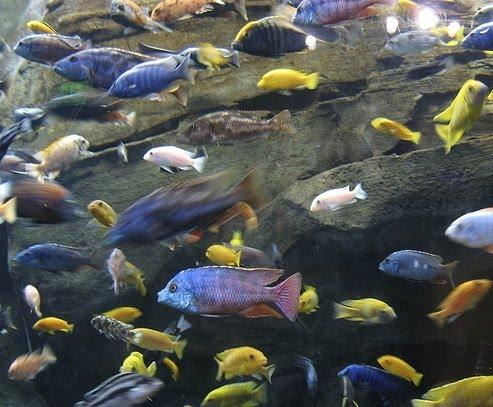 African Cichlids ~ Breeding Fish