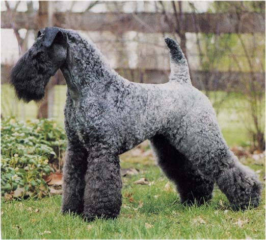 Puppies Dogs For Sale: Kerry Blue Terrier